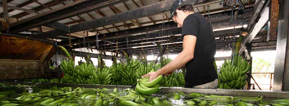 Sustainable Industries, Wet Tropics - banana washing
