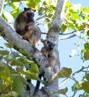 Lumholtz Tree Kangaroo mother and baby