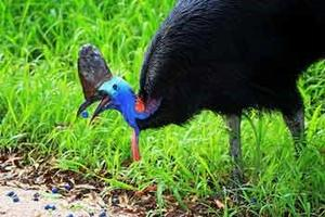 Cassowary feeding in the Wet Tropics