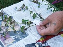 Herbarium ID - resized