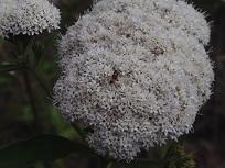 Stevia flower resized