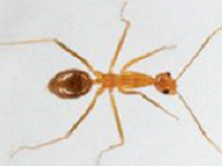 Yellow crazy ant - resized